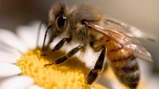 Cientistas descobrem veneno de abelha que pode matar vírus da aids