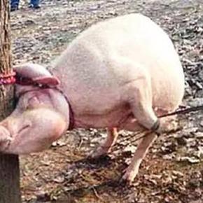 Pastor transfere demônios para porco no interior de Aracaju
